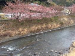 kawadu_sakura01.JPG